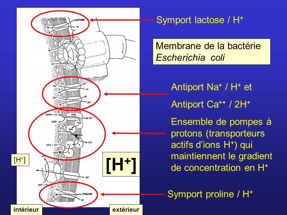 [H+] Symport lactose / H+ Membrane de la bactérie Escherichia coli